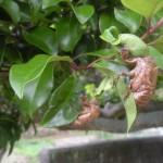 蝉 (4)