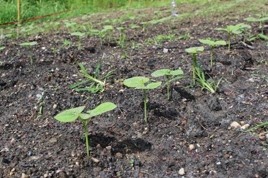 小豆 の 育て 方